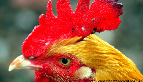 Angry Swedes push for noisy cock curfew