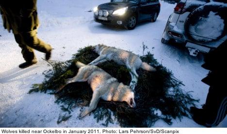 EU reprimands Sweden over wolf hunt plan
