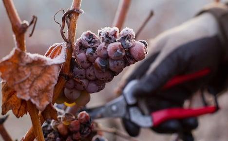 Vintners harvest bumper ice wine crop