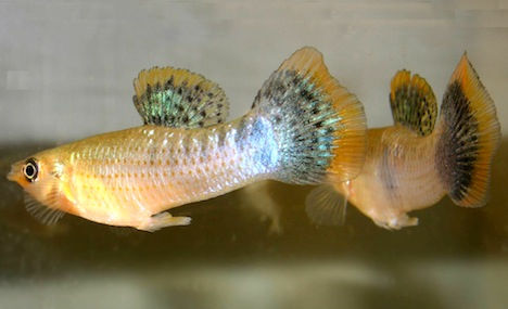 Gay sex makes fish more attractive to females