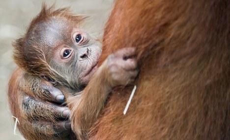 Orangutan baby born a star at Frankfurt Zoo