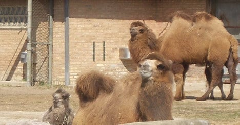 Two circus camels go missing in central France