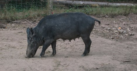 Bullet kills driver after 'freak rebound' off boar