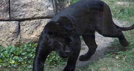 'Black panther' sighting sparks alert in France
