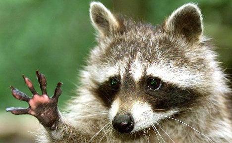 Hunters raise alarm as raccoon invasion spreads