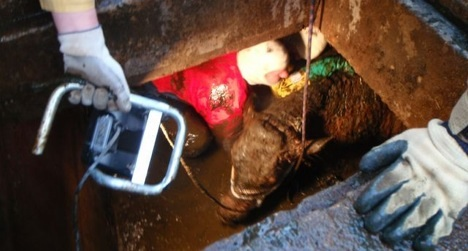 Pregnant cow rescued after fall into septic tank