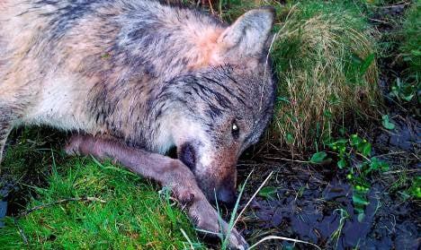 Fine for first Rhineland wolf kill since 1879