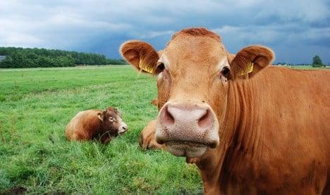 Serial cow killers baffle French farmers