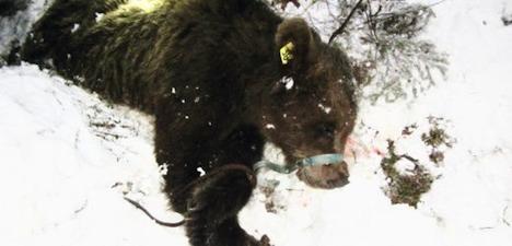 Nuisance bear destroyed in Graubünden town