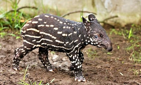 Leipzig's baby tapir charms fans worldwide