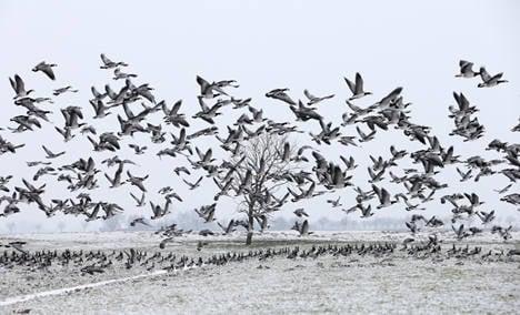 Migrating birds leave frozen Germany
