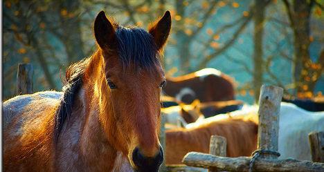 Spain slaughters horses as crisis bites