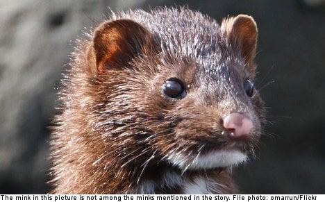 Swedish military admits role in mink massacre