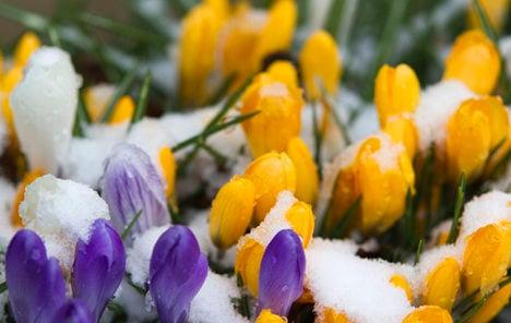 Spring joy premature as snow returns