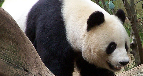 French zoo to turn Panda poo into power