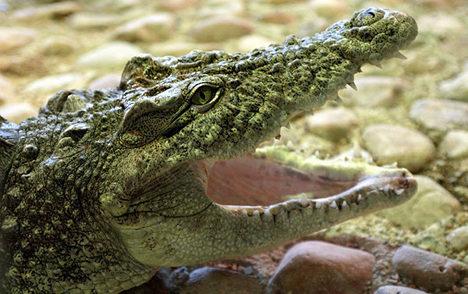 Magdeburg waterworks keeps crocodile mascot