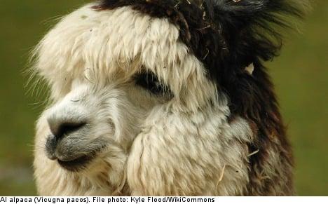 Shock alpaca slaughter 'like a war zone': farmer