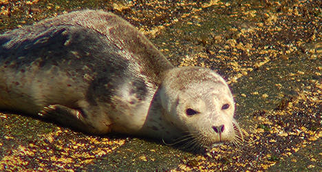 Norway battles with EU at WTO over seal ban