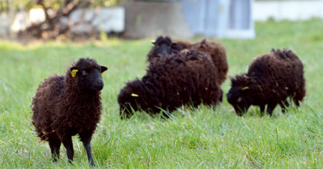 Sheep start new jobs as Paris 'lawnmowers'