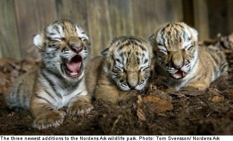 Swedish zoo cheers rare Siberian tiger cubs