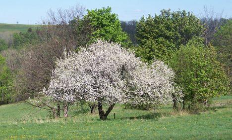 German wild apples in danger of extinction