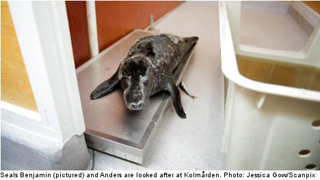 Swedish zoo fights to keep wild seal pups