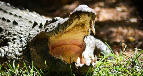 Frenchman survives crocodile head bite