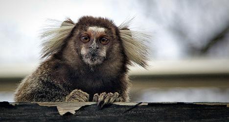 Raid recovers missing zoo heist monkey