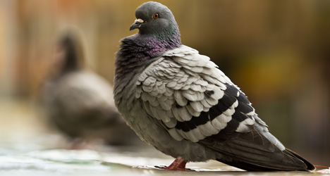 Barcelona issues €60,000 bounty to blitz pigeons
