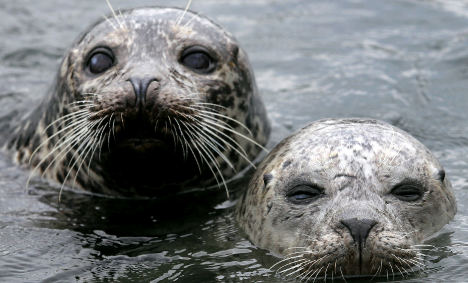 Grey seals return to German Baltic shores