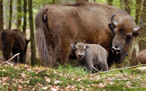 First bison born in wild 'for centuries'