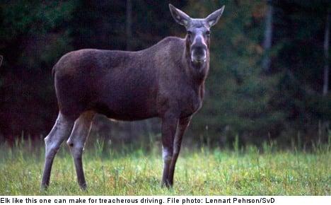 Driving in Sweden: Elk, reindeer, and road rage
