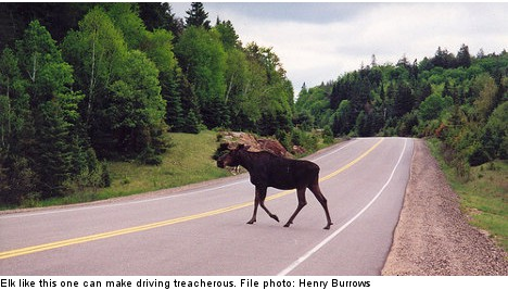 Two cars collide as elk gives birth on road