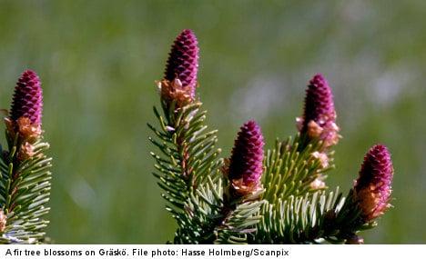 Swedish scientists chart entire fir tree genome