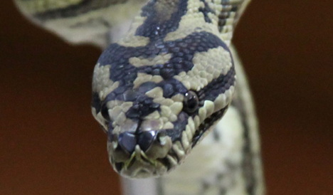 Police find body lying 'among 50 snakes'