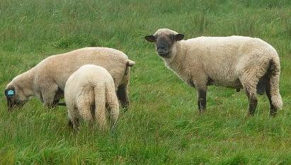 Sheep's head left outside Sicilian farmer's door