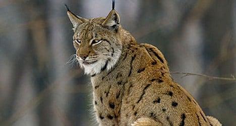 Bern OKs shooting of sheep-eating lynx