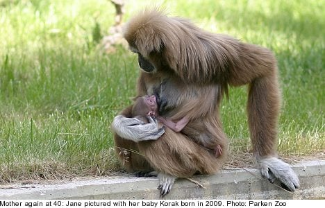 Swedish zoo celebrates geriatric gibbon birth