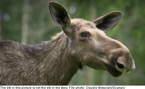 Lost elk shot dead in central Gothenburg