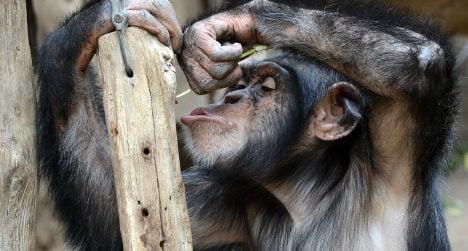 Spanish scientist reveals memory power of apes