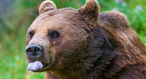Fugitive bear held after two weeks on the run