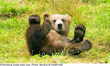 300 bears to be killed in annual Swedish hunt