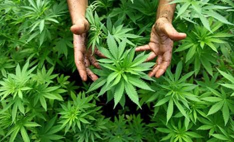 Town gardeners wage war on rogue hemp
