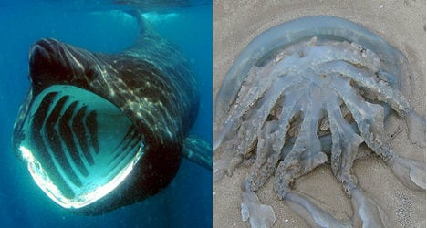 Sharks and jellyfish infest French waters