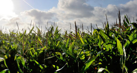 French court lifts ban on Monsanto GM corn