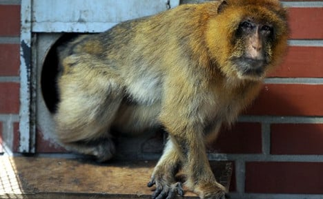 Escaped monkey risks family jewels if caught