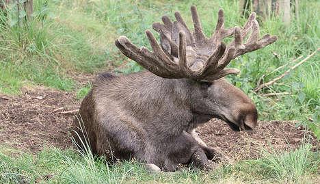Eating elk may lower children's IQ: Report