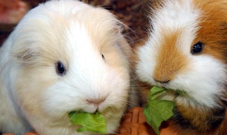 Group guinea pig sex 'too loud' say neighbours