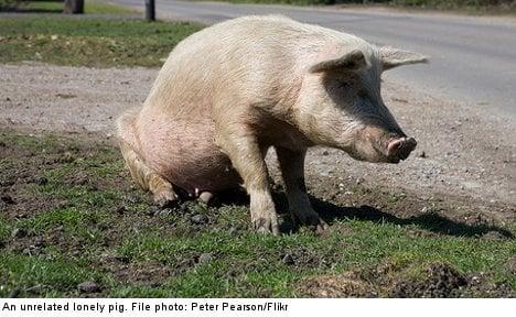 Sweden demands mate for man's lonely pig