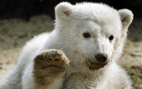 Hopes for a new Knut as Berlin polar bear arrives